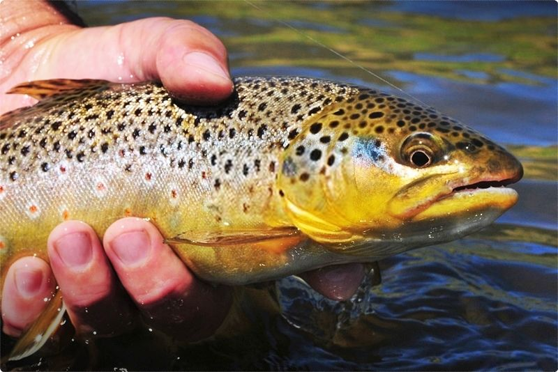 Montana Trout Fishing. Outstanding fly fishing, beautiful panoramas, together with all kinds of other outdoor recreation, produces a fishing trip to Montana unlike any other.
